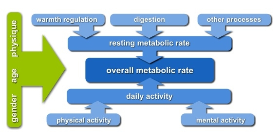 metabolic_rate_01