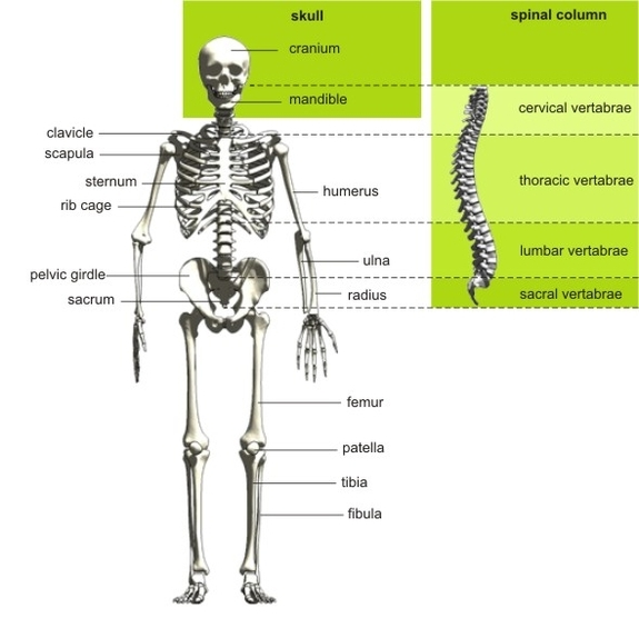 The Human Skeletal System Exercise Guide Bodytrainer