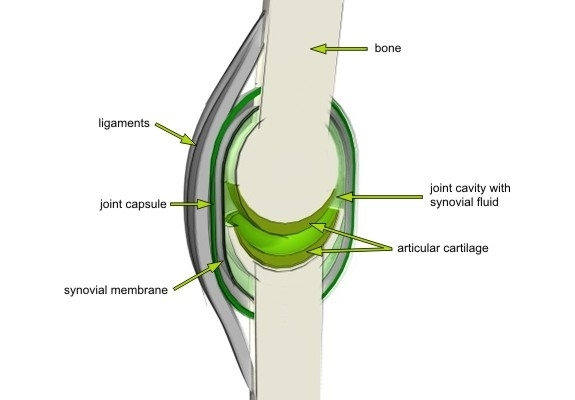 synovial_joint_composition_01
